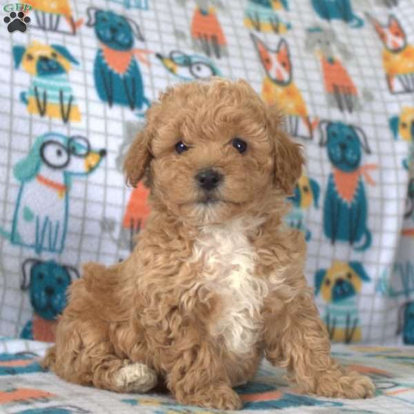 Whisper, Miniature Poodle Puppy