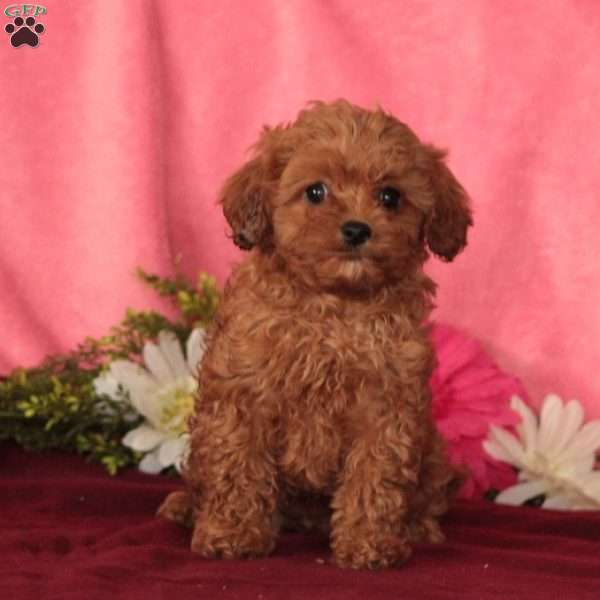 Willow, Cavapoo Puppy