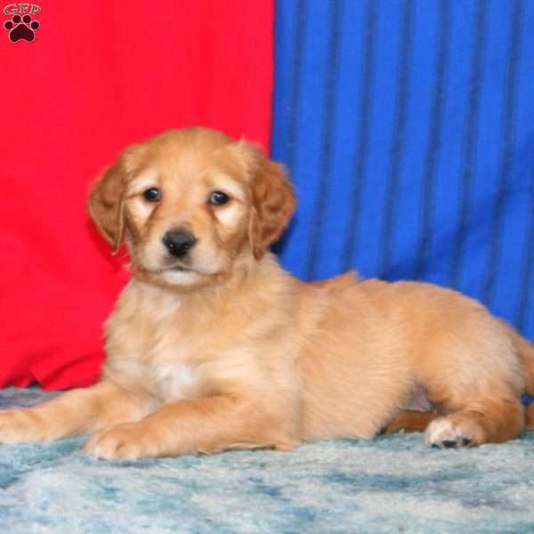 Willow-F2, Goldendoodle Puppy