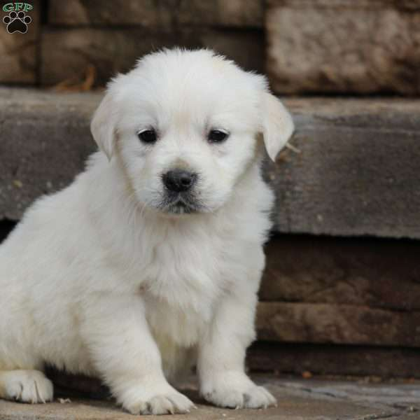 Woody, English Cream Golden Retriever Puppy