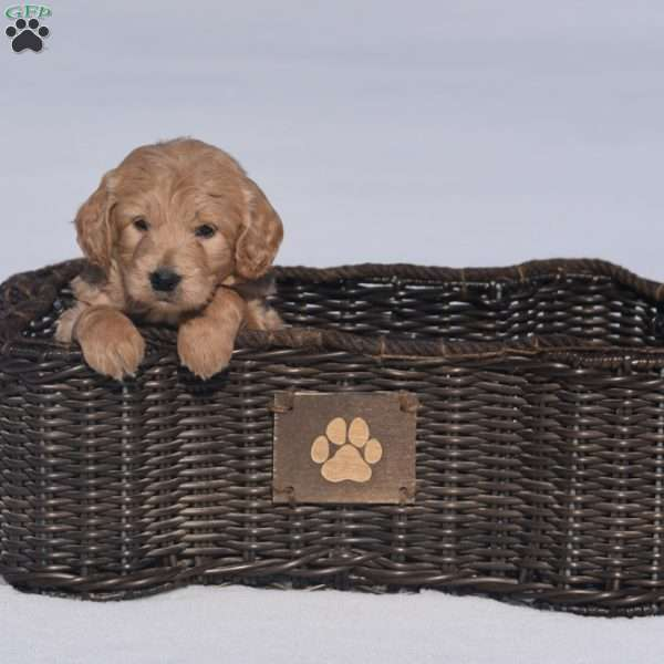 Worthy, Mini Goldendoodle Puppy