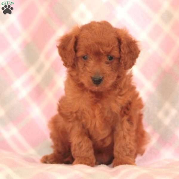 Zoro, Mini Goldendoodle Puppy
