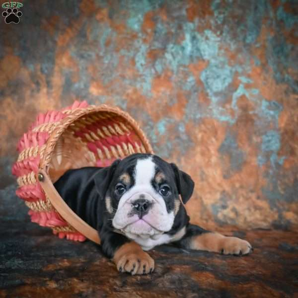 Brooklyn, English Bulldog Puppy