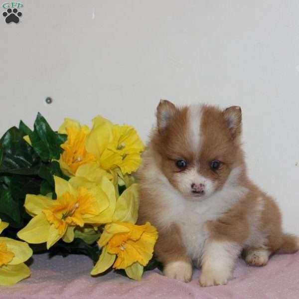 Easton, Pomeranian Puppy