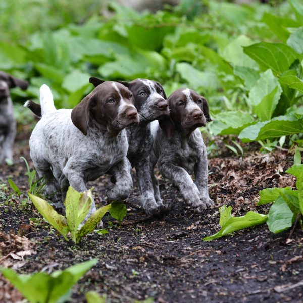 german shorthaired pointer puppies running through the forest
