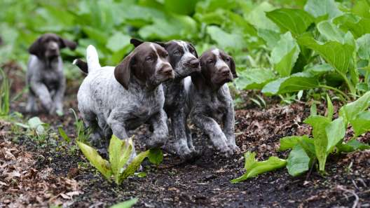 German Shorthaired Pointer Mix