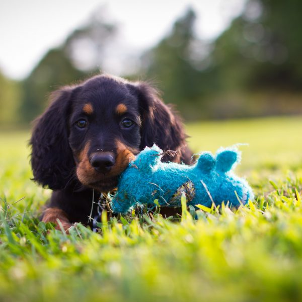 gordon setter puppy playing with a toy in grass