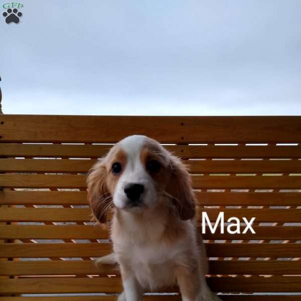 Max, Cavalier King Charles Mix Puppy