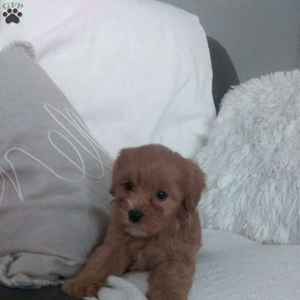 Scout, Cavapoo Puppy