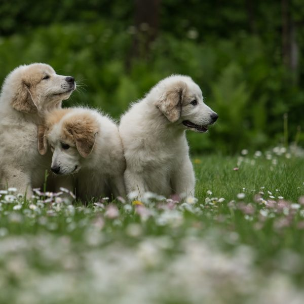 three great pyrenees puppies sitting in grass and flowers