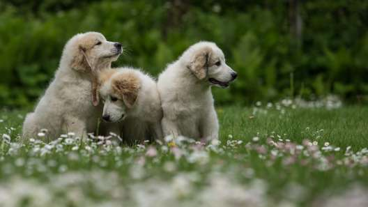 4 Fun Facts About Great Pyrenees