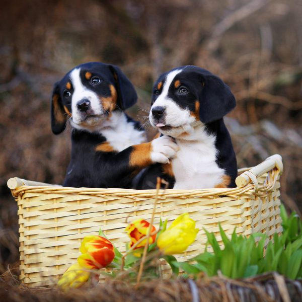 two greater swiss mountain dog puppies in a basket