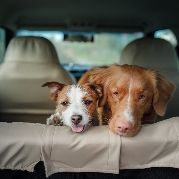 two happy dogs in the back of a car
