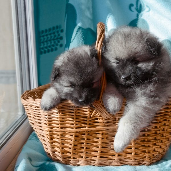 two keeshond puppies in a basket