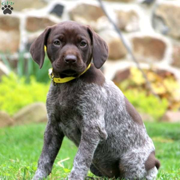 Abby, German Shorthaired Pointer Puppy