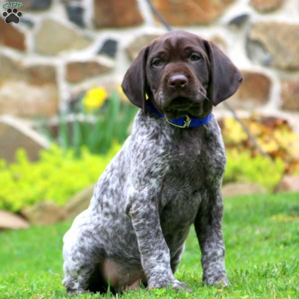 Ace, German Shorthaired Pointer Puppy
