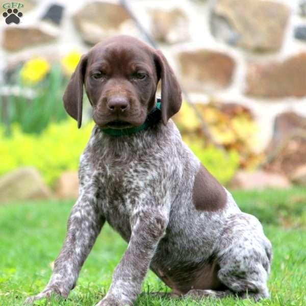Andy, German Shorthaired Pointer Puppy