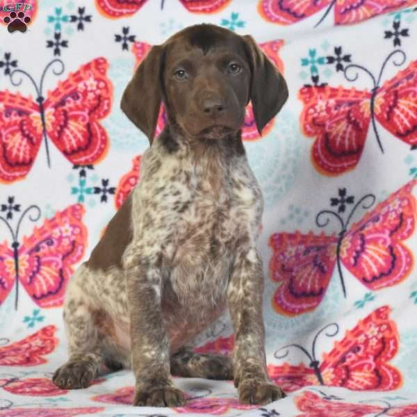 Bobby, German Shorthaired Pointer Puppy