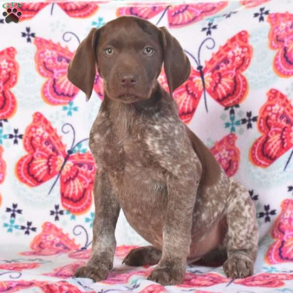 Buster, German Shorthaired Pointer Puppy