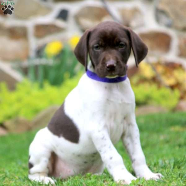 Chelsey, German Shorthaired Pointer Puppy