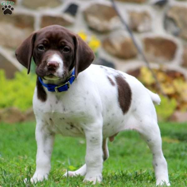 Colby, German Shorthaired Pointer Puppy