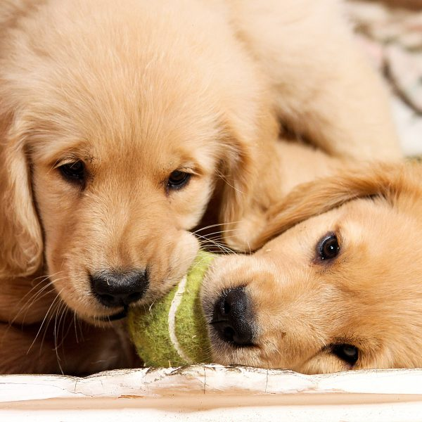 two golden retriever puppies playing with a ball