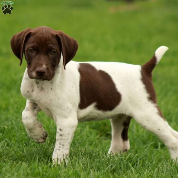 Bandy, German Shorthaired Pointer Puppy