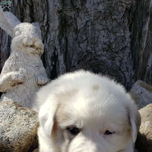 Bear, Great Pyrenees Mix Puppy