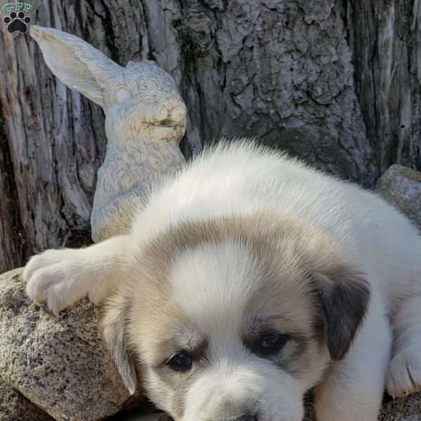 Beethoven, Great Pyrenees Mix Puppy