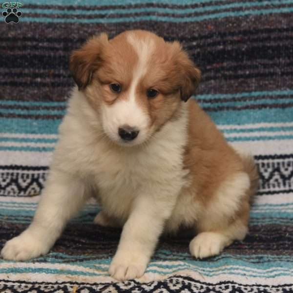 Caeser, Great Pyrenees Mix Puppy