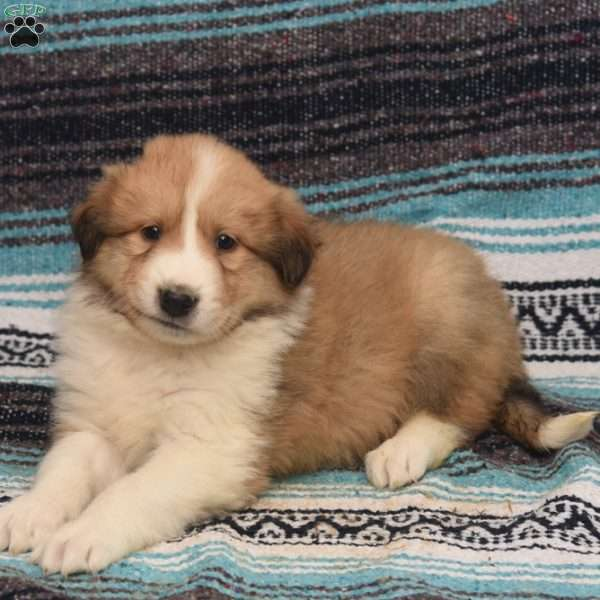 Calvin, Great Pyrenees Mix Puppy