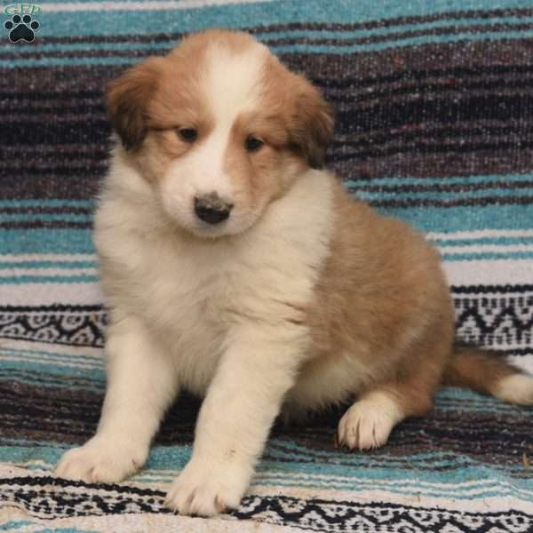 Camden, Great Pyrenees Mix Puppy