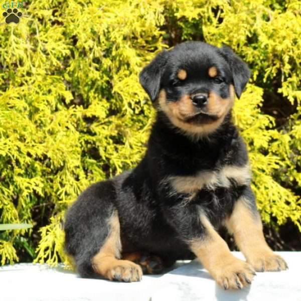 Candace, Rottweiler Puppy