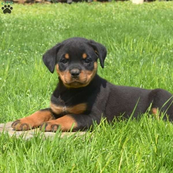 Cocoa, Rottweiler Puppy