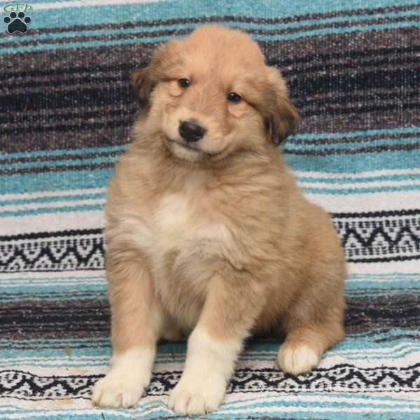 Collin, Great Pyrenees Mix Puppy