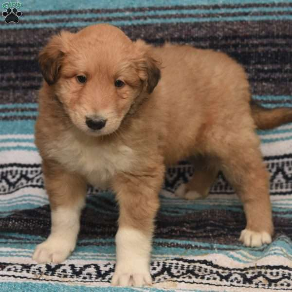 Corey, Great Pyrenees Mix Puppy