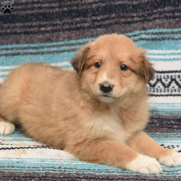 Corrin, Great Pyrenees Mix Puppy
