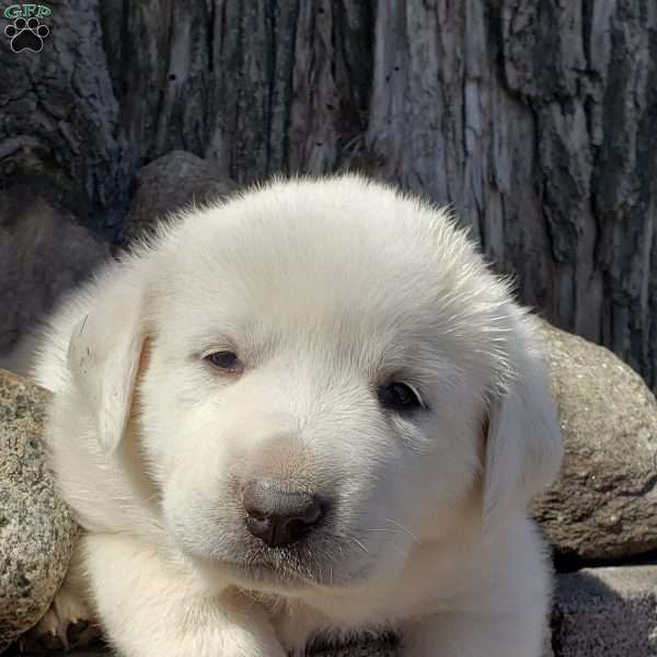 Sapphire, Great Pyrenees Mix Puppy