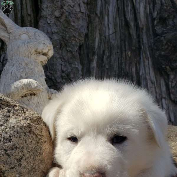Snowball, Great Pyrenees Mix Puppy