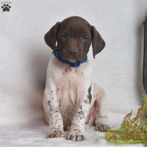 Tony, German Shorthaired Pointer Puppy