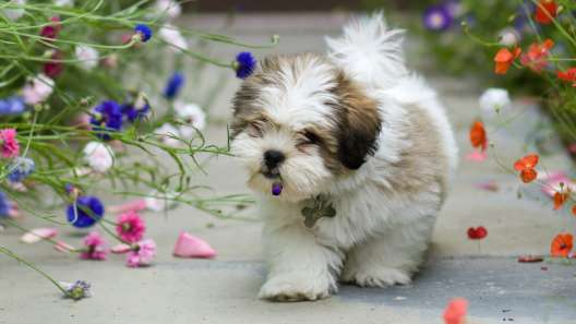 6 Fun Facts About the Lhasa Apso