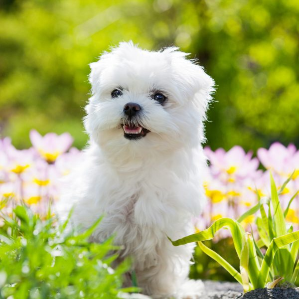 maltese puppy standing in flowers