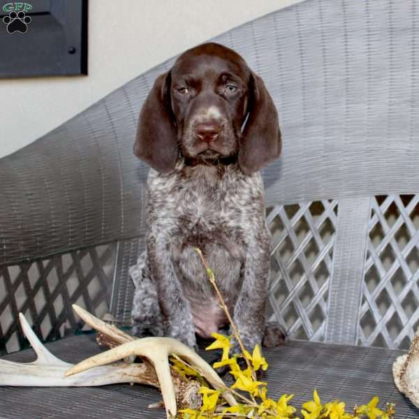Ruger, German Shorthaired Pointer Puppy