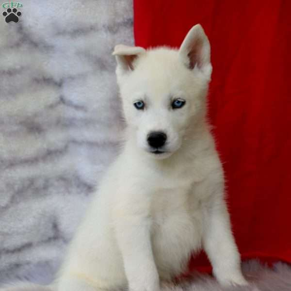 Charger, Siberian Husky Puppy