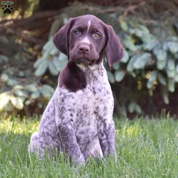 Holly, German Shorthaired Pointer Puppy