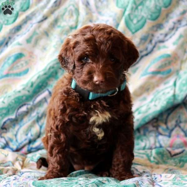 Hope, Portuguese Water Dog Puppy