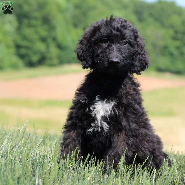 Jeeter, Goldendoodle Puppy