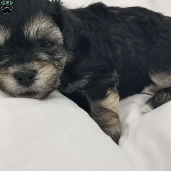 Panther, Havanese Puppy
