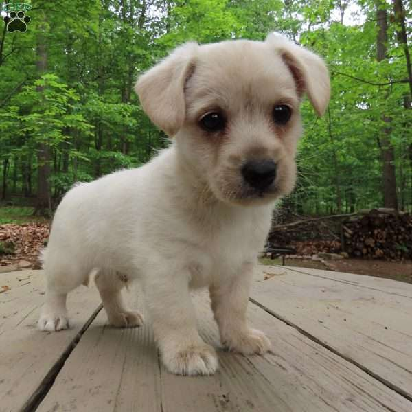Tommy, Cairn Terrier Mix Puppy