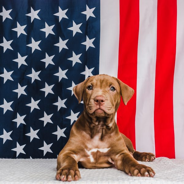chocolate lab mix puppy in front of american flag